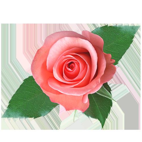 Rose Fresh Scent Geranium