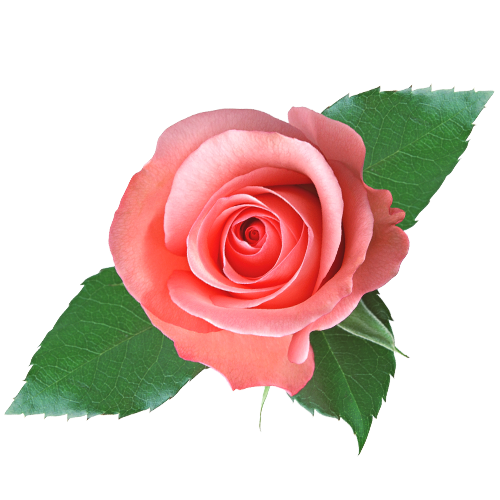 Choco scent geranium roses mightylinksfo